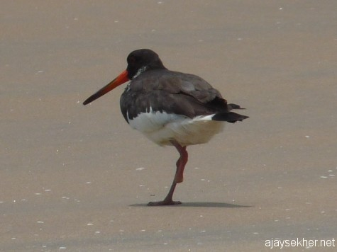 Eurasian Oystercatcher limping without the left foot at Chavakad beach on 7 Apl 2013.  The same injured bird was seen in the summer of 2012 on the same location at Tiruvathra Puthan Kadapuram, Chavakad.