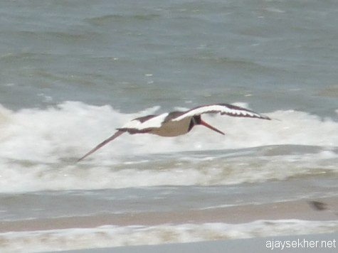 Oystercatcher in flight along the Chavakad coast on 7 apl 2013.