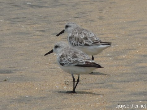 Little Stints at Chavakad beach. 7 apl 2013
