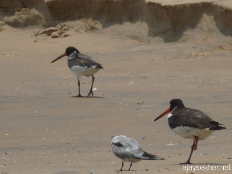 Just three Oystercatchers were seen this summer in 2013, last year there were 5 individuals in the party.  Anyway the challenged bird is still sailing well...