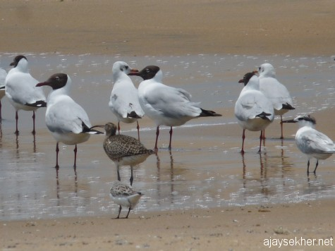 A lone Whimbrel among the small gulls at Chavakad, 7 apl 2013.