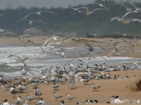 Chavakad Tiruvathra Puthan Kadapuram teaming with migratory birds including small gulls, terns and waders on 7 apl 2013.