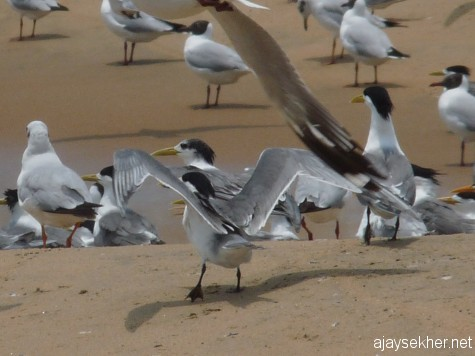 Lesser Crested Terns at Tiruvathra Puthan Kadapura, Chavakad on 7 apl 2013.