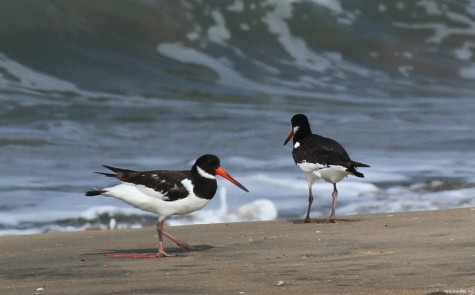 Vijesh Vallikunnu's file photo taken in 2012 summer at Chavakad beach showing the Oystercatcher with a trapped left leg.