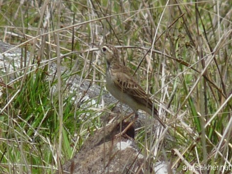 A Pipit on the grassland top of Panjalimed, late March 2013.