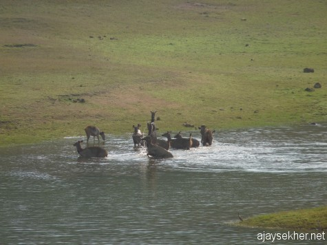 A herd of Sambhar Deer cooling themselves in Tekady lake just across the boat landing on a hot summer afternoon in late March 2013.