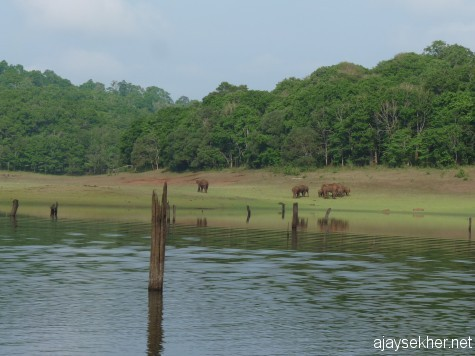 A herd of wild elephants at Tekady, on the banks of the Periyar lake reservoir inside the PTR, 26 apl 2013.