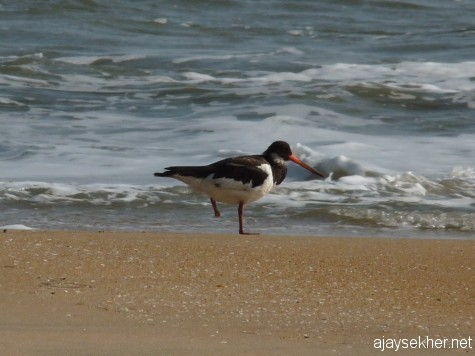 The same bird now without the toe at Chavakad beach.  My photo on 20 apl 2013.