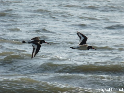 Eurasian Oystercatchers in flight at Chavakad beach this summer.