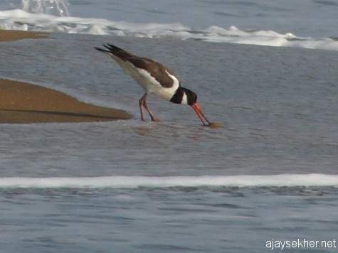 Eurasian Oystercatcher catching an oyster at Chavakad beach, 20 apl 2013.