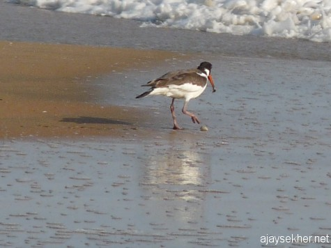Savoring the sweet meat of oyster by removing the shell so ingeniously.  The Oystercatcher at Chavakad beach, 20 apl 2013.