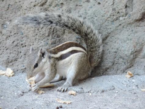 A squirrel at Ajanta, 25 May 2013 Buddha Purnima