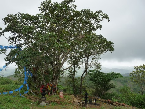 The current Boddhi tree at Pallykanam top.  A Cholayal a kin of the fig in grassland sholas related to the rhododendrons.  A Pipal was here till a years ago according to local people.  The Tamils traditionally bowed before the fig.