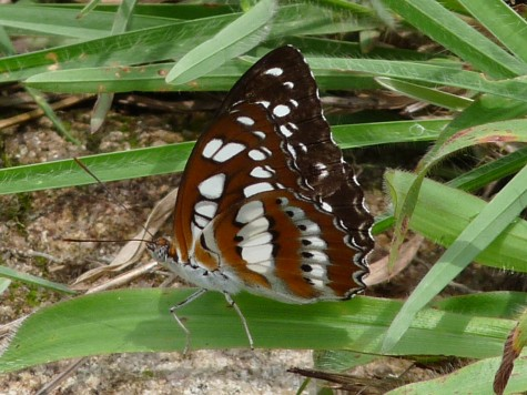A rare butterfly at Pallykanam grassland peak. Early May 2013.