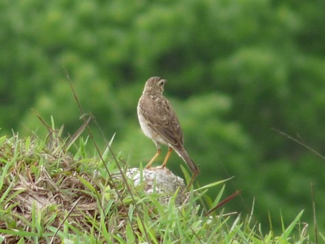 A Lark singing on the Punjar Motta or Pallykanam peak, early May 2013.