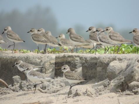 Sand Plovers at Chavakad Tiruvatra Puthan beach, 2 oct 2013.