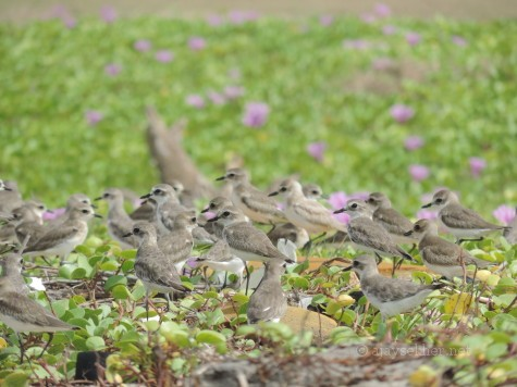 Sand Plovers at chavakad Puthan beach, 2 oct 2013