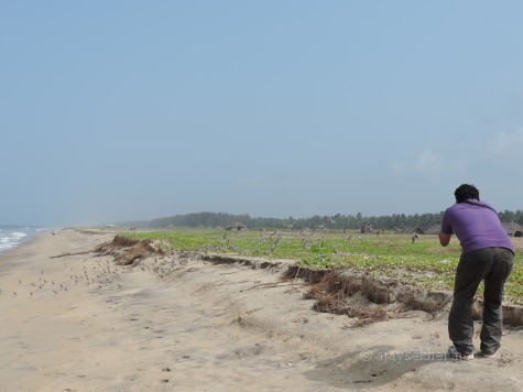 Satish K V pursuing the Sand Plovers at Puthan beach Tiruvatra, Chavakad, 2 oct 2012