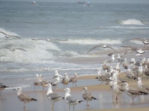 Yellow-legged and Heuglin Gulls at Tiruvatra Puthan beach Chavakad. 2 Oct 2013