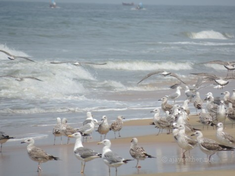 Yellow-legged and Heuglin Gulls at Tiruvatra Puthan beach Chavakad. 2 Oct 2013