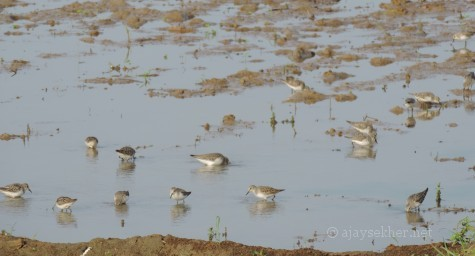 Temminck's Stints at Puzhakal Kol, 10 Nov 2013.