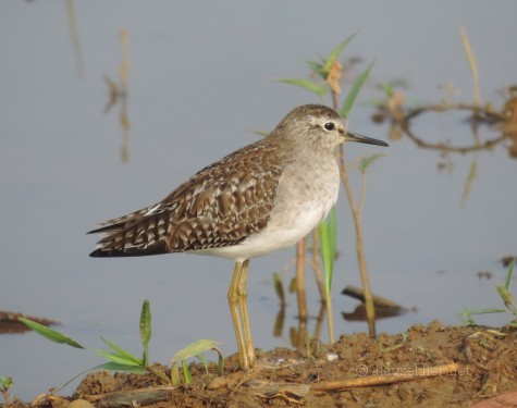 Spotted or Wood Sandpiper at Puzhakal Kol, 10 Nov 2013