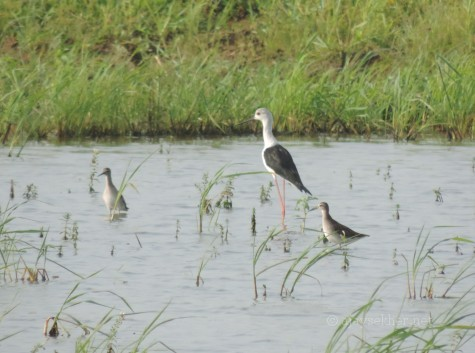 Black-winged Stilt and Sandpipers at Pullazhi Kol, 10 Nov 2013.