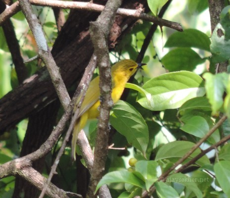 Yellow-browed Bulbul at Anakayam. 10 Nov 2013.