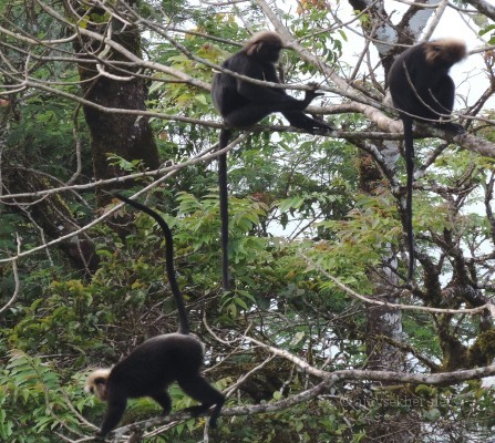 Nilgiri Langurs or Karimanti at Sholayar pass. 10 Nov 2013.