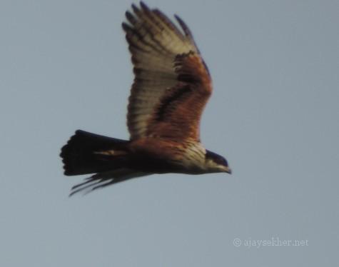 Rufous-bellied Eagle near Peringalkuthu. 10 Nov 2013.