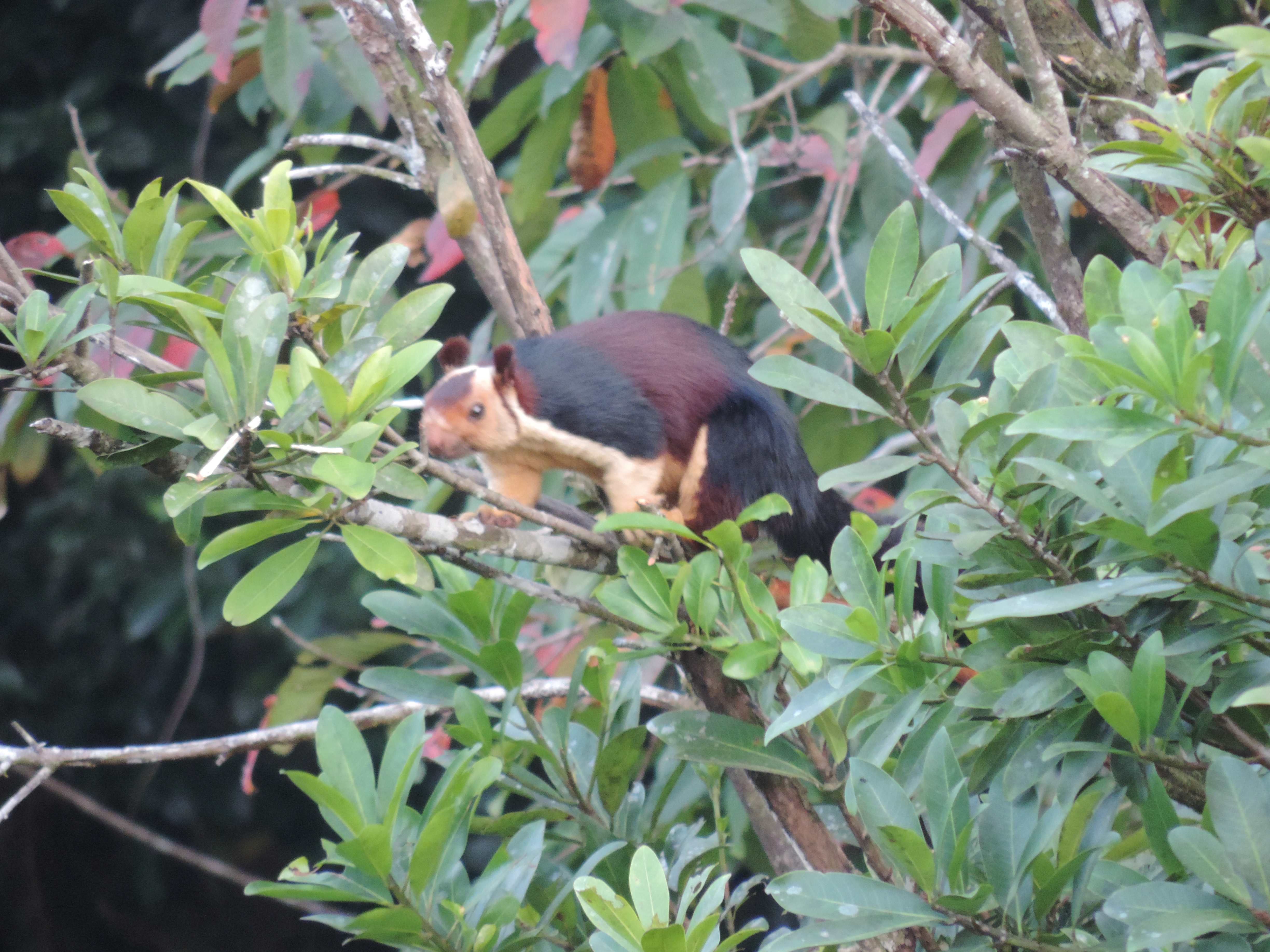 Malabar Giant Squirrel at Vazhachal Bridge, 10 Nov 2013.