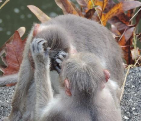 Bonnet Macaques preening at Vazhachal Bridge, 10 Nov 2013.