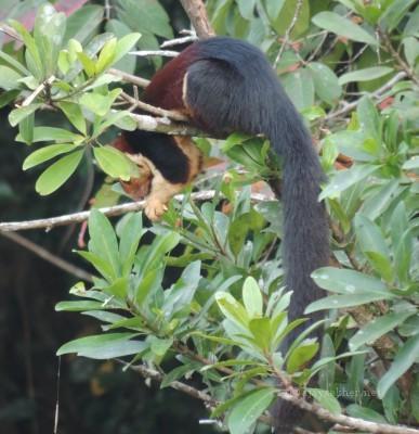 M G Squirrel at Vazhachal Bridge.