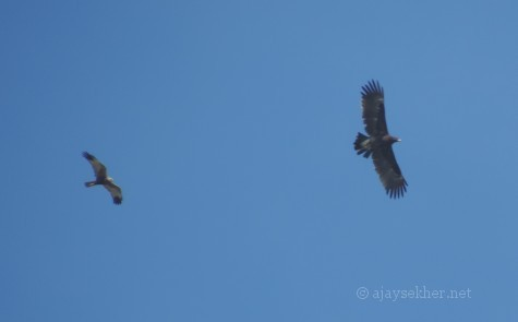 A Marsh Harrier and a Steppe Eagle in Kolazhy Kol wetland near Kottekad, Thrissur, 18 Nov 2013.