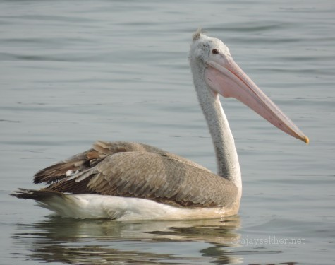 Spot-billed Pelican at Nainar Kulam, Tirunvelveli, 26 Dec 2013.