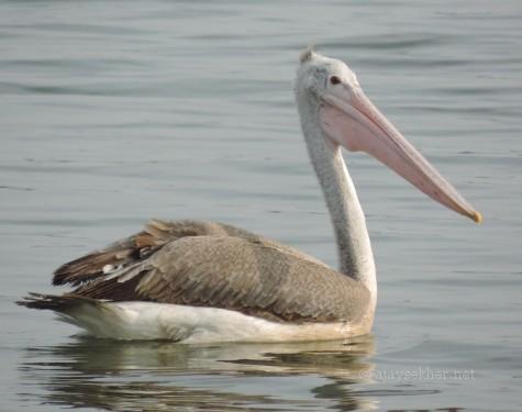Spot-billed Pelican at Nainar Kulam, Tirunvelveli, 26 Dec 2013.