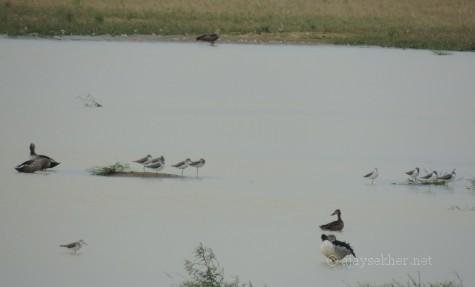 Northern Shoveler, Comb Duck, Green Shanks... at Kuntamkulam, 26 Dec 2013.