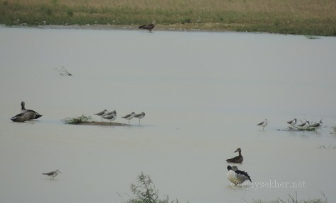 Northern Shoveler, Comb Duck, Green Shanks... at Kuntamkulam, 26 Dec 2013.