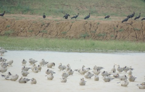 Black Ibises and Bar-headed Geese at Kuntamkulam, 26 Dec 2013.