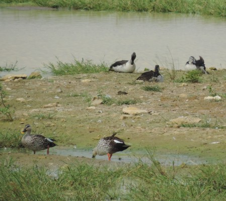 Spot-billed Ducks and Comb Ducks (female) at Kuntamkulam, 26 Dec 2013.