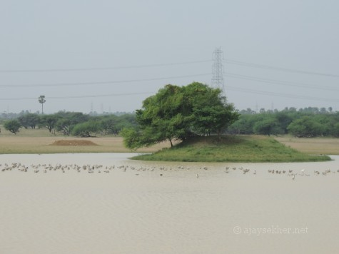 Some 500 Bar-headed Geese and other migrants at Kuntamkulam sanctuary, 26 Dec 2013.