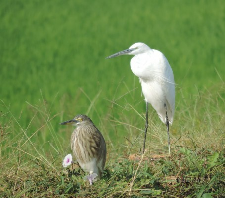 Waterfowl in Kol wetland, 5 jan 2014.  Pond Heron and Median Egret at Adat Kol.