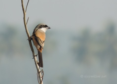 Brown Shrike near Ayanikad islet in Adat Kol, 5 Jan 2013.