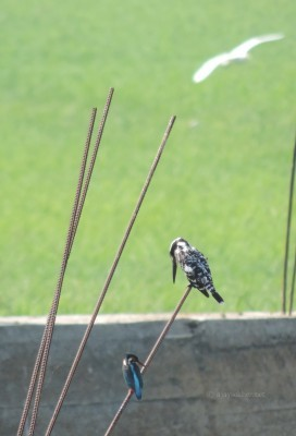 Pied Kingfisher and Small Blue Kingfisher in Adat Kol, 5 jan 2014.