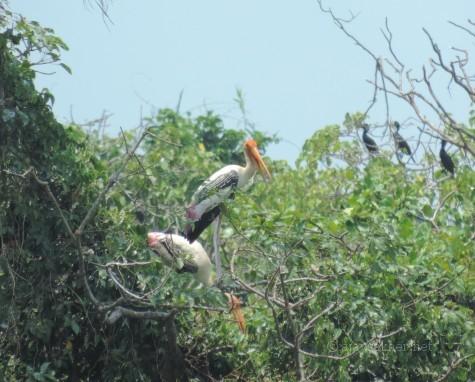 Painted Storks nesting and preparing for breeding at Kumarakam Bird Sanctuary, Kottayam. 17 Apl 2014