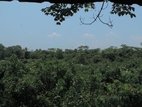 The heronry at Kumarakam bird sanctuary, Kottayam.