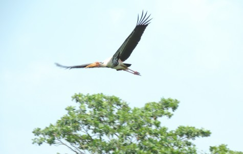 A Painted Stork spreading its wings above Kumarakam sanctuary. 17 Apl 2014.