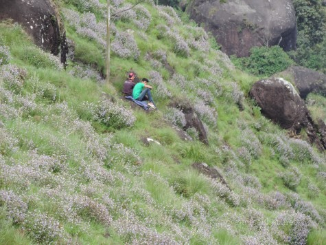 Youth from the plains amidst the sea of Kurinji colors near Lockheart Gap, Munnar. Sept 2014.