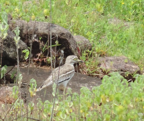 Eurasian Thick-knee at Tolanur in Palakad, Aug 2015