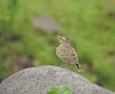 Malabar Crested Lark at Tolanur in Palakad, late Aug 2015